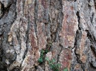 Rough texture of an aging tree