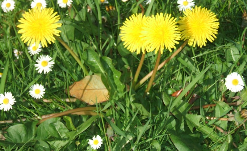 Dandelions & daisies